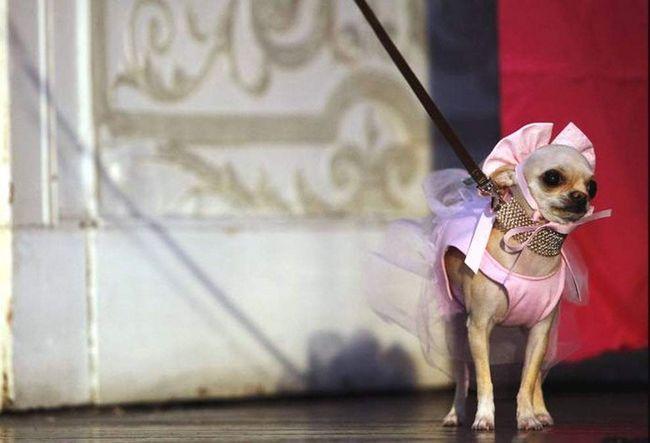 Chihuahua Coco Bella balerina kostim