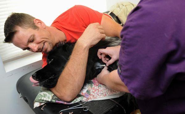 Vlasnik Chris Oldt leži sa Kenzie, 5-godišnji Newfoundland donatora, na stolu, dok je veterinar ubacuje iglu u vratnu venu psa