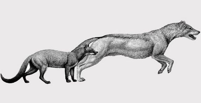 Собаки избавились от кошачьего облика и повадок под влиянием климата