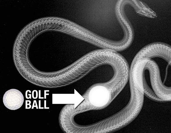 zmija-golf-loptu
