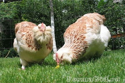 dvě kuřata a kohout Faverolles Chicken