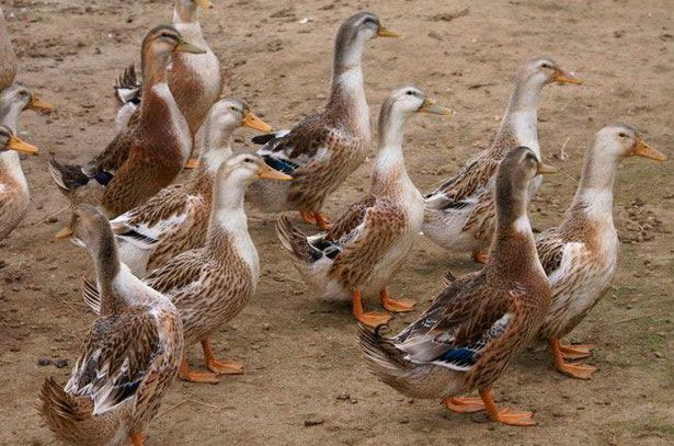 Башкирские утки на прогулке