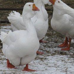 Содержание и разведение холмогорских гусей в домашних условиях