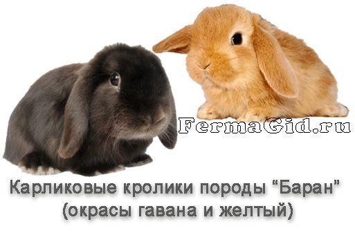 Содержание карликовых кроликов в домашних условиях: породы, уход