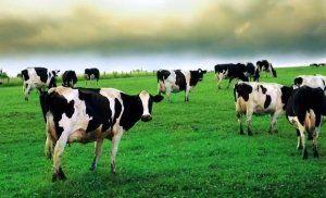 metode de vacă