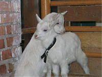 Содержание коз без выпаса