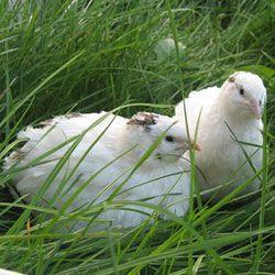 Texas křepelka sedí v trávě