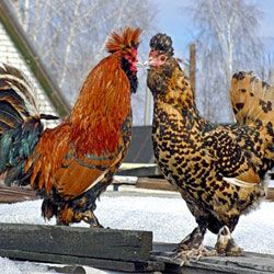 Conținutul de reproducție caracteristici de producție și pui de găină rasa pavloviene