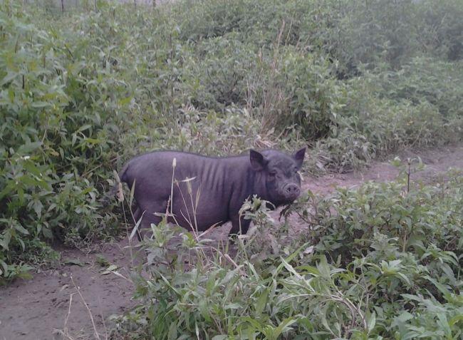Pot-bellied svinja: The Walking platforma