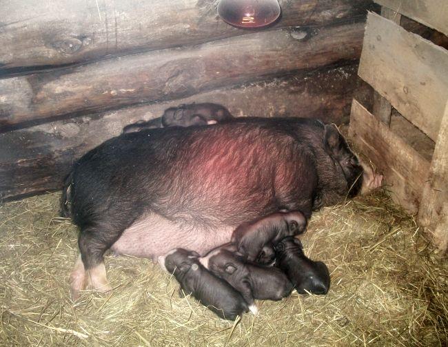 Pot-bellied svinja: uzgoj