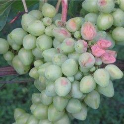 Sunburn grožđe