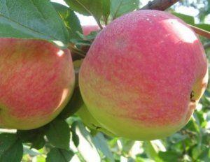 Cорт яблони «Конфетное»