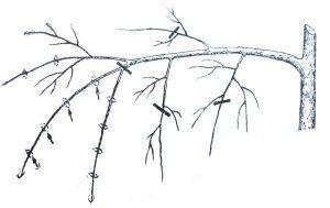 Схема обрезки для усиления роста