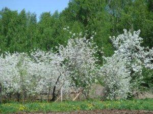 Куст вишни «Владимирская»