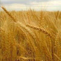Сорта и гибриды пшеницы озимой