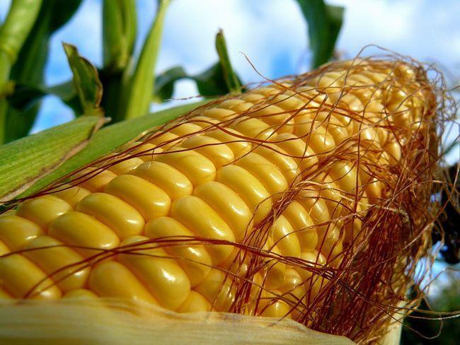 Sorte kukuruza