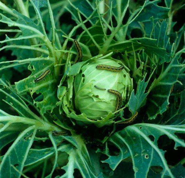 Сорванные овощи продолжают жить по биологическим часам