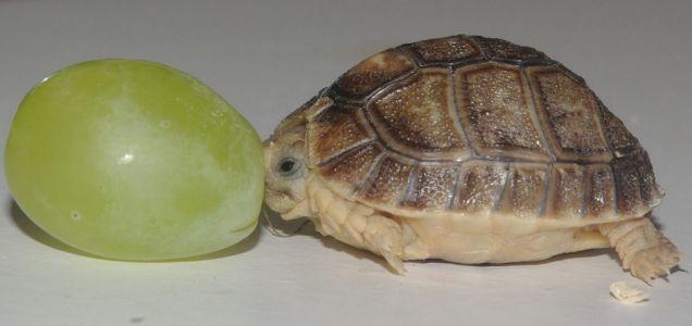 Prije mjesec dana, engleski zoološki vrt Whipsnade Zoo je rođena muškog egipatski kornjača teži samo šest grama i veličine nešto više od grožđa. On je imenovan Tiny Tim. U narednih 10 godina, težine kornjača treba da dostigne 500 grama, a dužina - 10 cm.