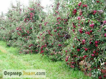 Советы и рекомендации по обрезке яблони