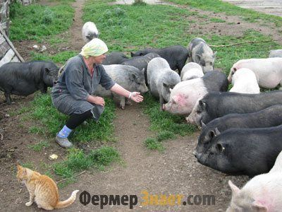 Советы по домашнему разведению свиней