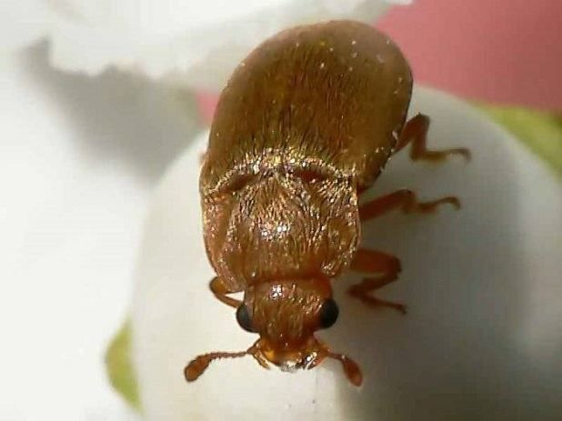 malina chrobák