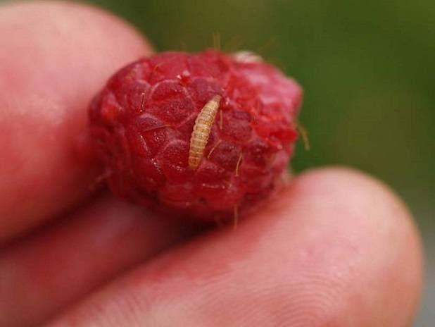 Raspberry chrobák larva