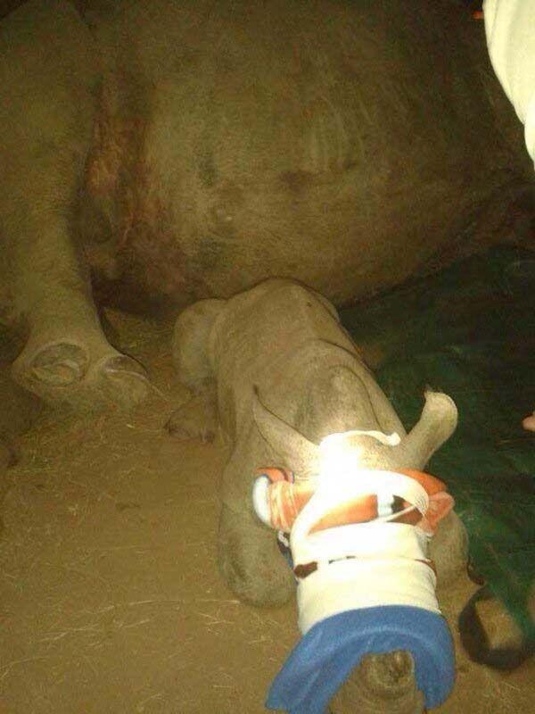 Спасение герти: маленький носорог остался без мамы