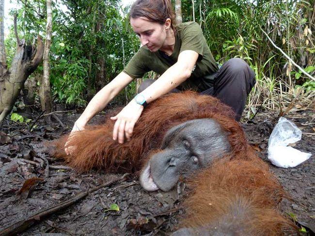 Спасение орангутана, обессилевшего от голода
