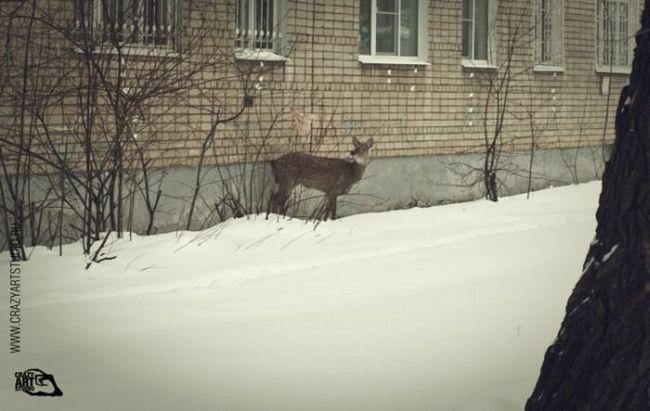 Spašavanje oštećenih jelena u Jaroslavlj dvorištu