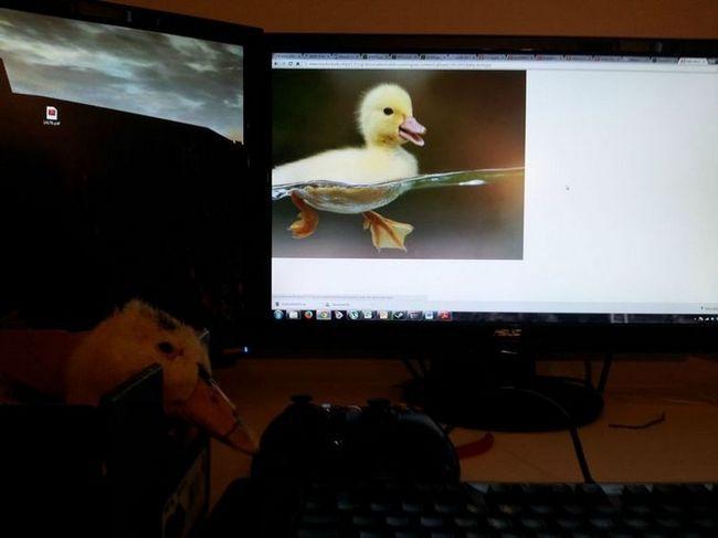 Спасение утки