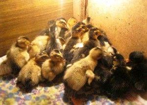 Содержание птенцов суточного возраста