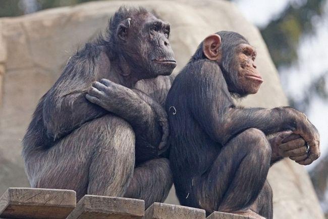 Šimpanzi prokázaly vysokou schopnost vzájemné.