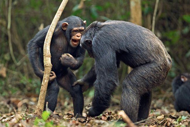 Tyto opice, kteří shromážděné plody práce jiných jedinců, členové opičí tým budou potrestáni.