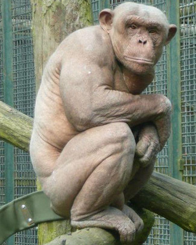 Pokud si oholit šimpanze vlny, lze nalézt pod mohutnými svaly.