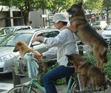 три собаки и человек на велосипеде