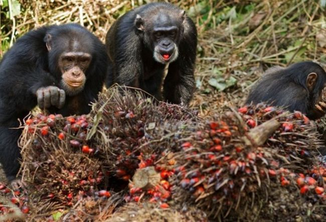 Među divlji majmuni pronađena alkoholičara