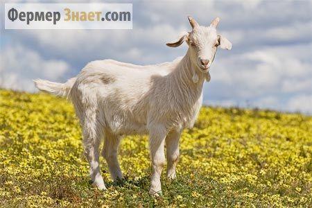 Koza mliječne rase