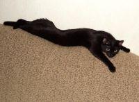 бомбейская кошка длина