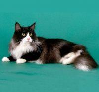 Norveški cat Standard