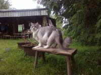 Norveška šumska mačka Veličina
