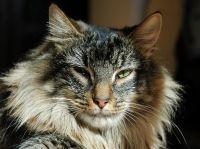 Norveška šumska mačka karakteristika