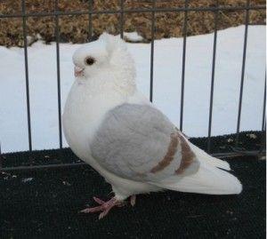 Старая немецкая чайка (голуби)