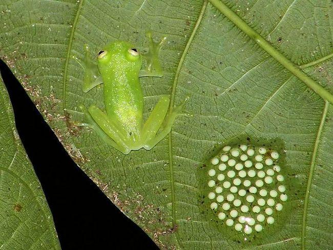 Centrolenidae