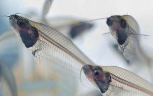 Стеклянный сом, kryptopterus bicirrhis