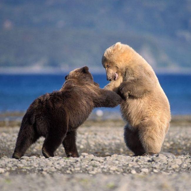 medvědi země