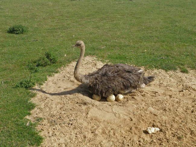 Samice pštrosa na hnízdě.