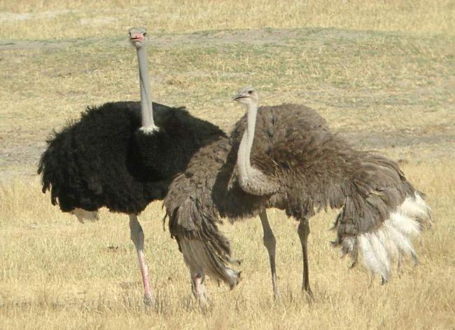 Kdo by mohl namítnout, že pštrosa - velký pták?