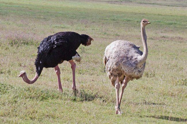 Pštrosi - ne společenští ptáci.