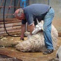 Šišanja ovaca