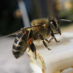 Строение и развитие рабочих пчел, их качества и умения